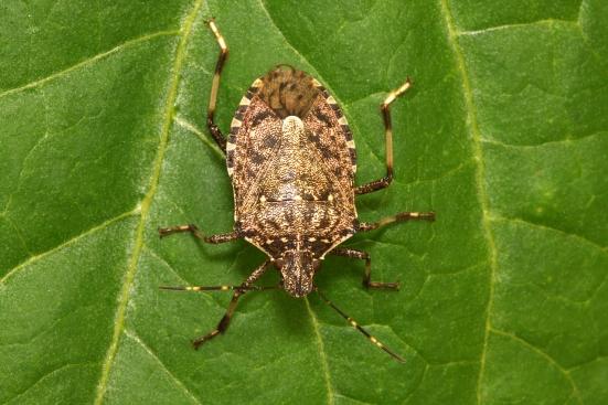 Coldiretti Pesaro Urbino, la vespa samurai per combattere la cimice asiatica in difesa di orti e frutteti