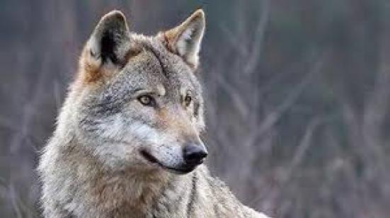 Emergenza lupi a Vallefoglia: Ucchielli scrive al ministro Costa