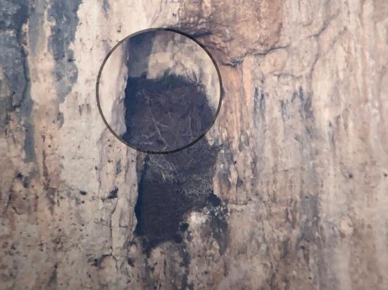 Furlo, la coppia di aquile reali ha iniziato la nidificazione sulla parete rocciosa del Monte Paganuccio